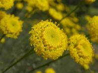 Abrotano hembra/Santolina chamaecyparissus