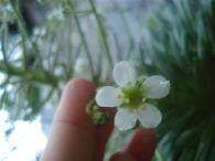 Corona de Rey/Saxifraga longifolia
