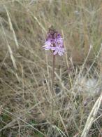 Scilla autumnalis/Scilla autumnalis