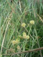 Junco/Scirpoides holoschoenus