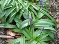 Escila pirenaica/Scilla lilio-hyacinthus