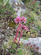 Siempreviva de montaña/Sempervivum montanum