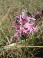 Flor de cuclillo/Lychnis flos-cuculi