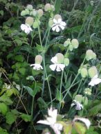 Collejas/Silene vulgaris