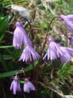 Soldanella alpina/Soldanella alpina