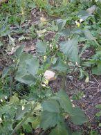 Tomatillos del diablo/Solanum nigrum