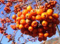 Serbal de cazadores/Sorbus aucuparia
