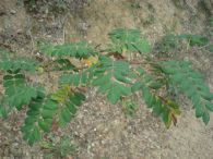 Acerolo/Sorbus domestica