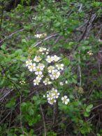 Espirea/Spiraea hypericifolia