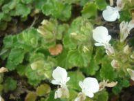 Teucrio de los pirineos/Teucrium pyrenaicum