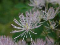 Talictro/Thalictrum aquilegiifolium