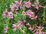 Regaliz de montaña/Trifolium alpinum