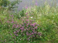 Trebol rosa/Trifolium pratense
