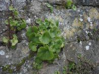 Ombligo de venus/Umbilicus rupestris