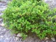 Arándano/Vaccinium myrtillus