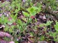 Ar�ndano/Vaccinium myrtillus