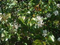 Durillo/Viburnum tinus