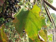 Vid silvestre/Vitis vinifera