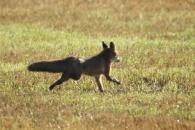 Zorro rojo/Vulpes vulpes