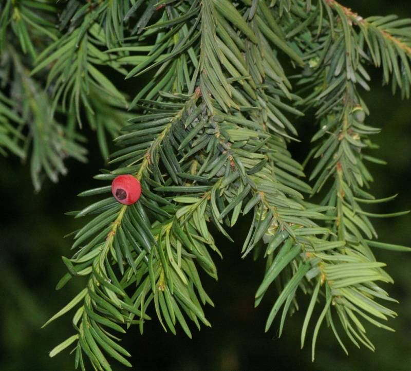 Taxus baccata