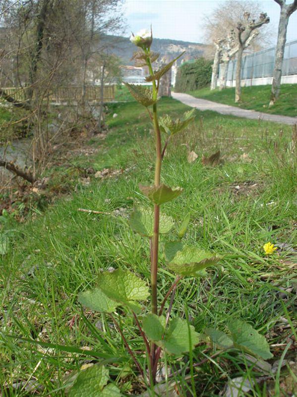 Hierba del ajo/Alliaria petiolata