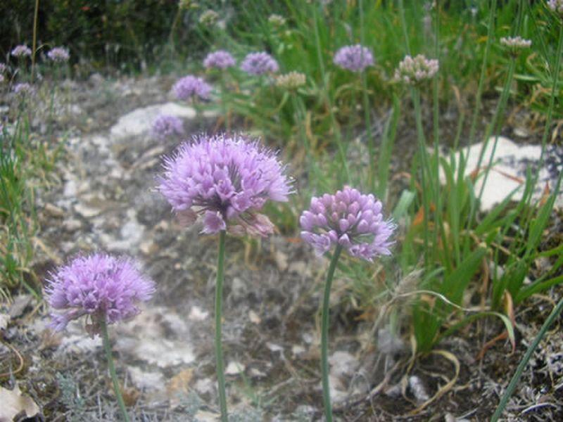 Allium senescens/Allium senescens