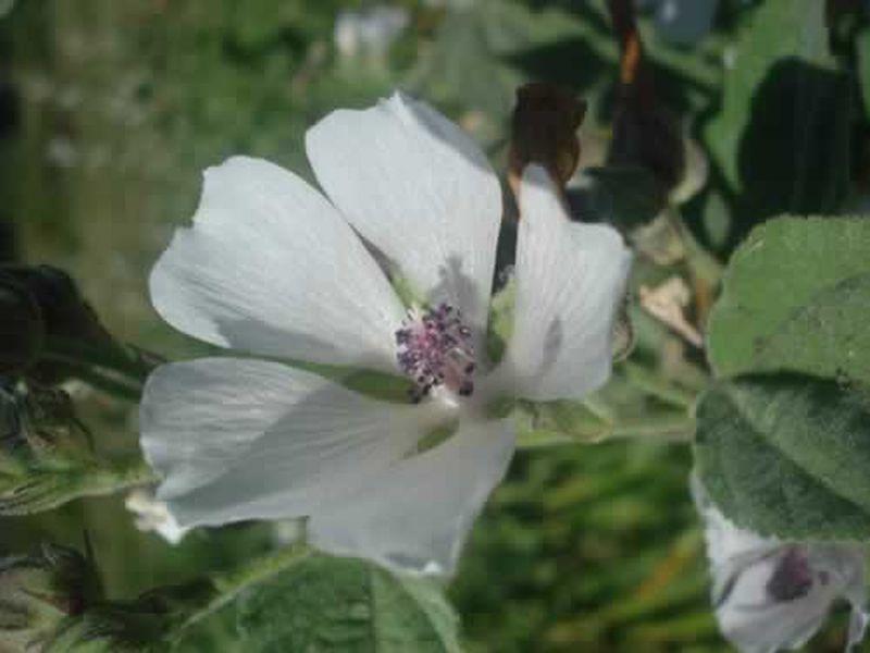 Malvavisco/Althaea officinalis