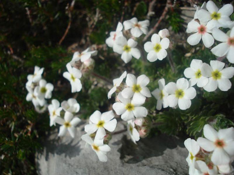 Androsace villosa/Androsace villosa
