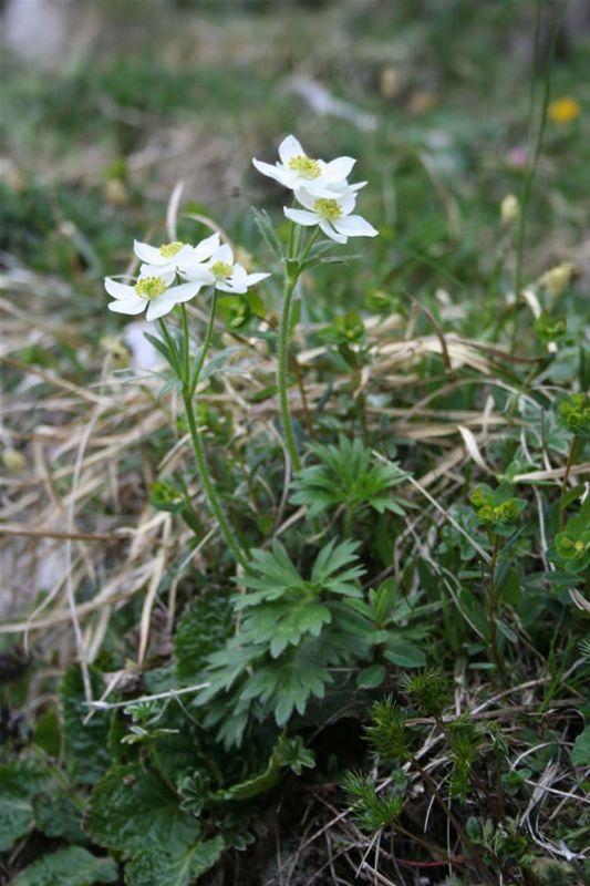 An�mona de flores de narciso/Anemone narcisiflora