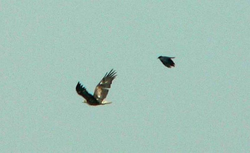 Águila Real/Aquila chrysaetos