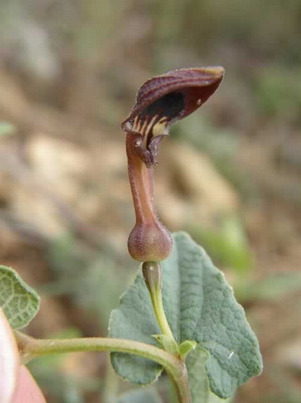 Aristolochia/Aristolochia pistolochia