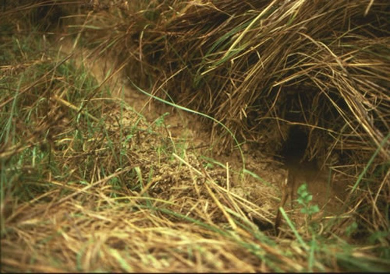 Rata de agua/Arvicola sapidus