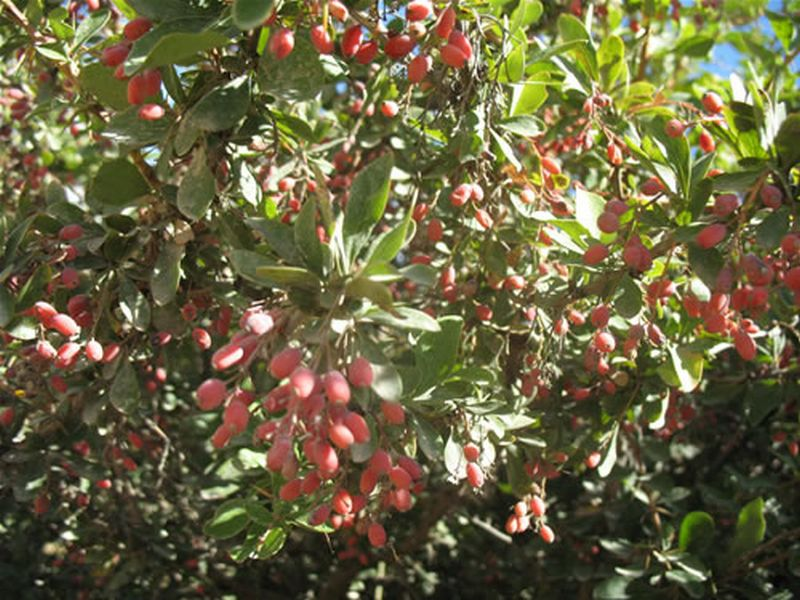 Berberis vulgaris L., Agracejo