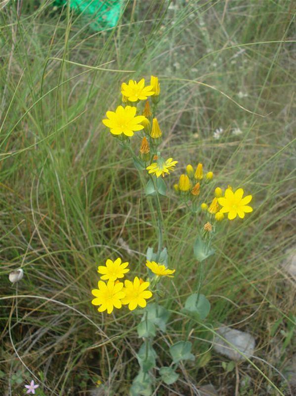 Centaura amarilla/Blasktonia perfoliata