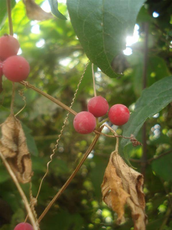 Nueza blanca/Bryonia dioica