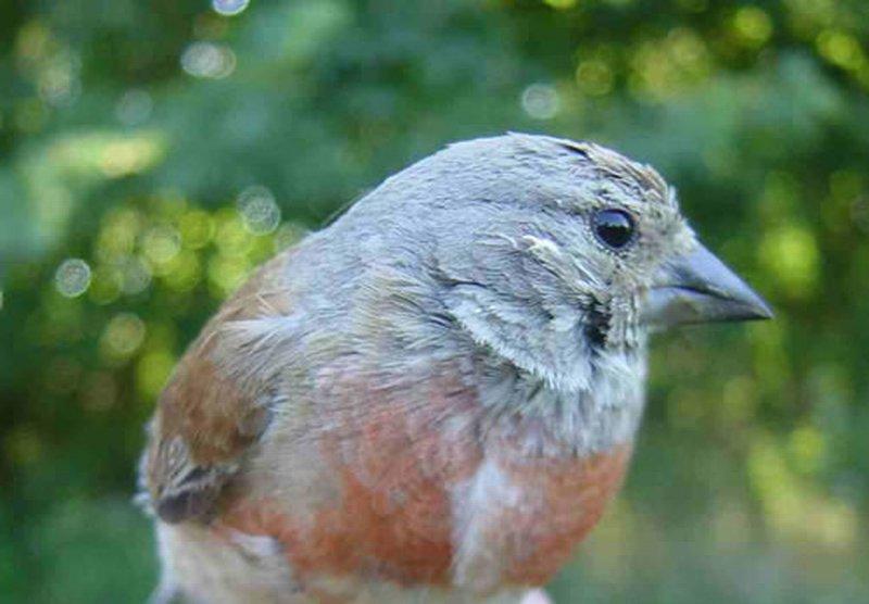 Pardillo Común/Carduelis cannabina
