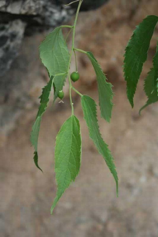 Almez/Celtis australis