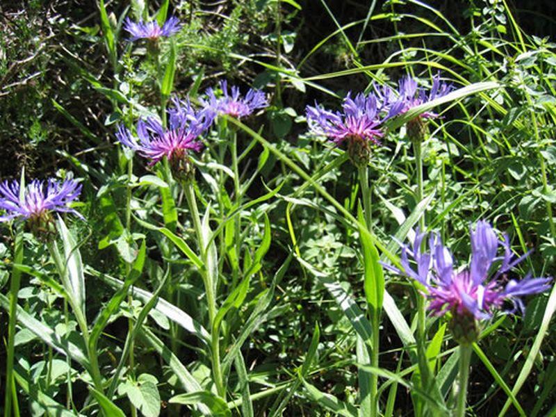 Aciano/Centaurea montana