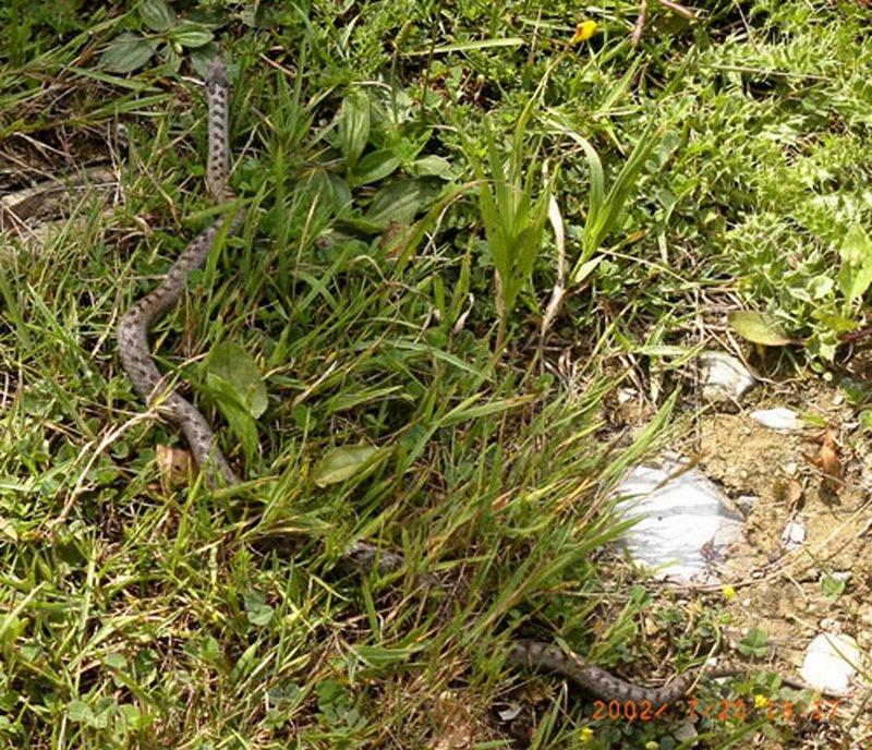 Culebra lisa europea/Coronella austriaca