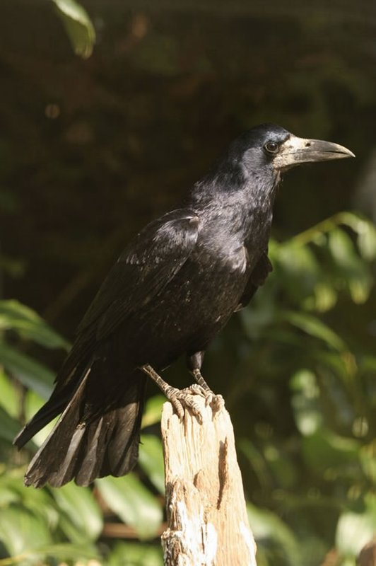 Graja/Corvus frugilegus