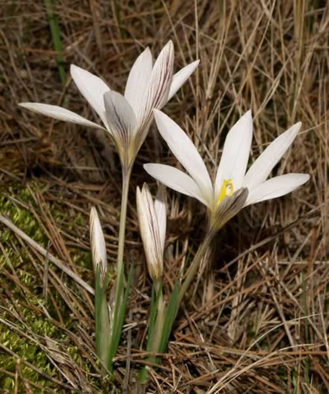 Crocus nevadensis/Crocus nevadensis