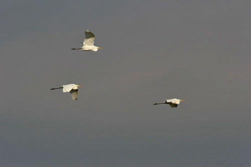Garceta Grande/Egretta alba