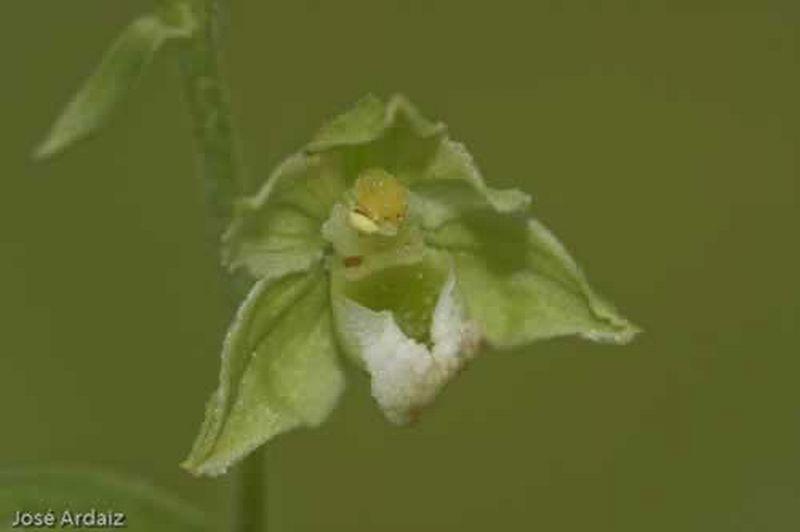 Epipactis hispanica/Epipactis hispanica