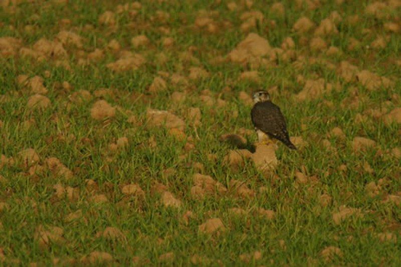 Esmerejón/Falco columbarius