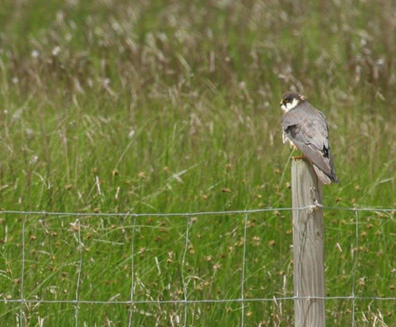 Alcotán Europeo/Falco subbuteo