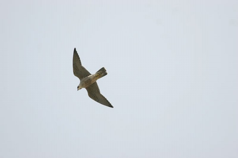 Alcot�n Europeo/Falco subbuteo