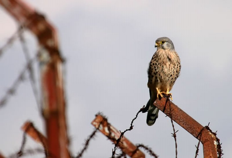 Cernícalo Vulgar/Falco tinnunculus