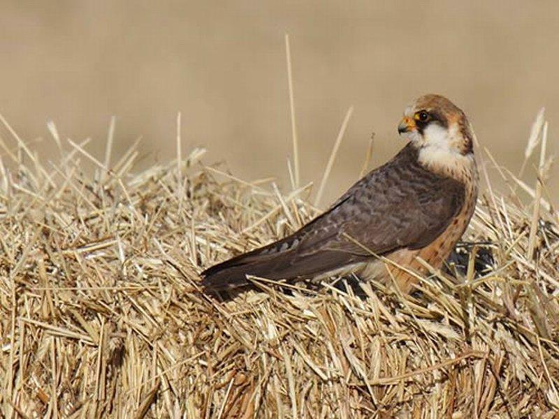 Cernícalo Patirrojo/Falco vespertinus