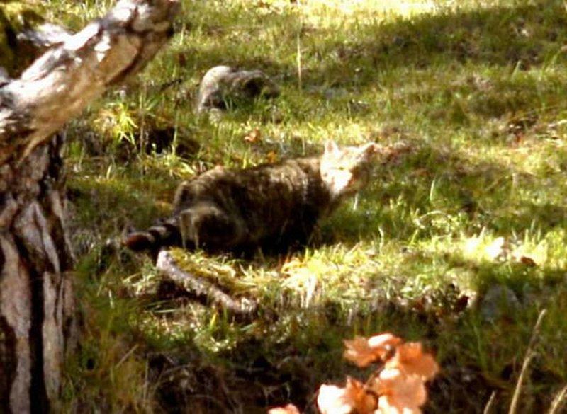 Gato montés europeo/Felis silvestris