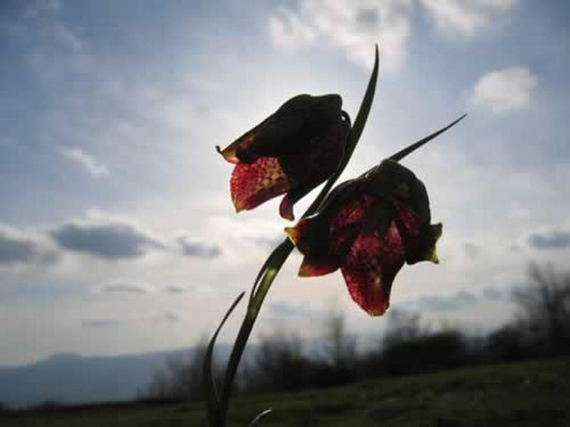 Tablero de damas/Fritillaria pyrenaica